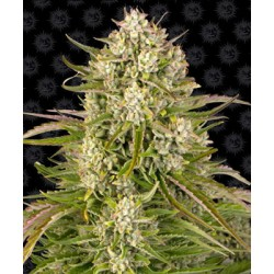 Semillas cannabis Wedding Cake auto