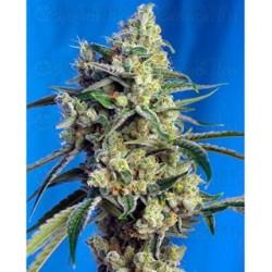 Sweet Amnesia Haze semillas marihuana Santiago