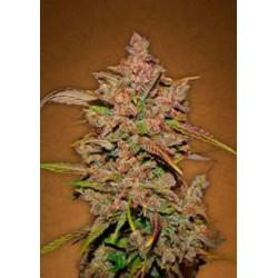 Crystal Meth semillas cannabis