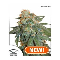 semillas marihuana Orange Bud auto de Dutch Passion