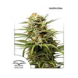 semillas marihuana White Widow auto de Dutch Passion