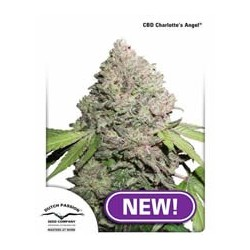 semillas marihuana CBD auto Charlotte´s Angel de Dutch Passion