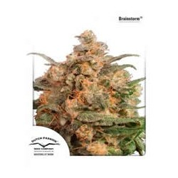 Brainstorm de Dutch Passion semillas marihuana