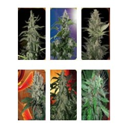 semillas marihuana Assorted Mix de Buddha Seeds