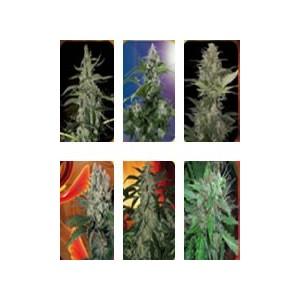 semillas marihuana Assorted Mix de Buddha Seeds
