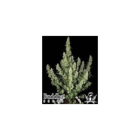 semillas marihuana Magnum de Buddha Seeds