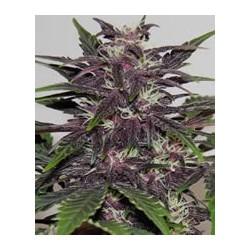 semillas marihuana Purple Kush de Buddha Seeds