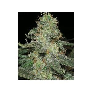 semillas marihuana BC Diesel de BlimBurn