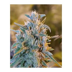 semillas marihuana Blue Dream de BlimBurn