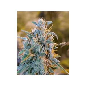 semillas marihuana Blue Dream de BlimBurn