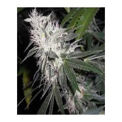 semillas marihuana Chemdog 4 de BlimBurn