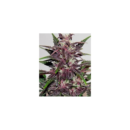 semillas marihuana Grizzly Purple Kush de BlimBurn