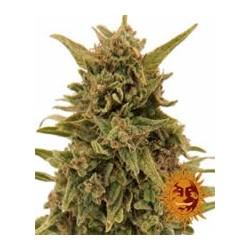 Blueberry OG de Barney´s Farm semillas marihuana