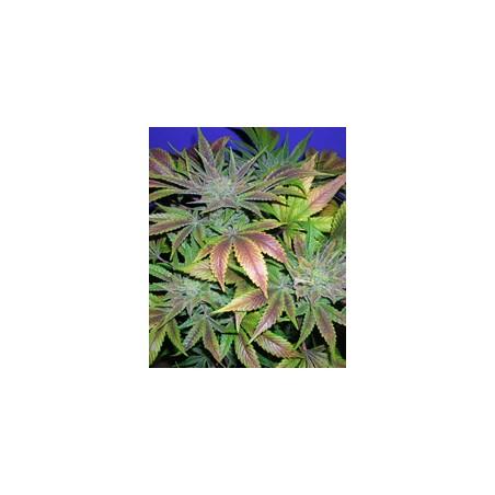 Blue Cheese de Barney´s Farm semillas marihuana