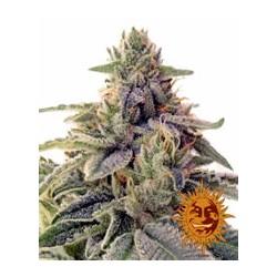 Shiskaberry de Barney´s Farm semillas marihuana