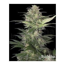 Semillas marihuana Red Dwarf de Buddha Seeds