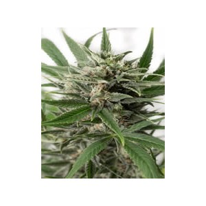 Blue Amnesia XL auto de Dinafem semillas marihuana