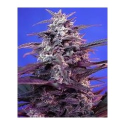 semillas marihuana Bloody Skunk auto de Sweet Seeds