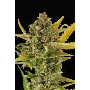 Critical Cheese auto de Dinafem semillas cannabis