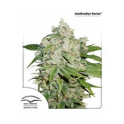 semillas marihuana Brooklyn Sunrise auto de Dutch Passion