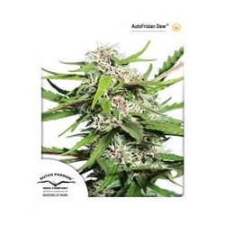 semillas marihuana Frisian Dew auto de Dutch Passion