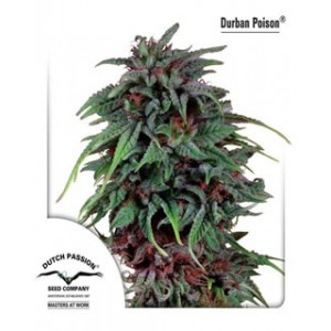 Durban Poison de Dutch Passion semillas marihuana