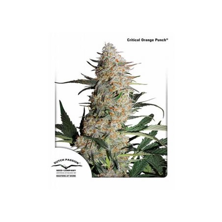 semillas marihuana Critical Orange Punch de Dutch Passion