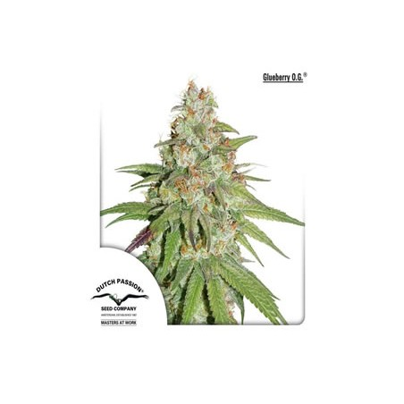Glueberry OG de Dutch Passion semillas cannabis