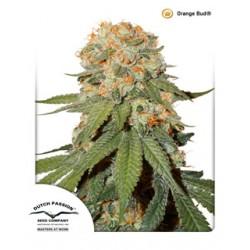 semillas cannabis Orange Bud de Dutch Passion