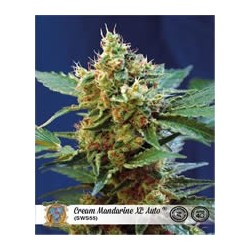 Cream Mandarine XL de Sweet Seeds semillas marihuana