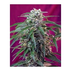semillas marihuana Green Poison auto de Sweet Seeds