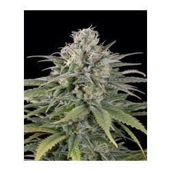 UK Cheese auto de Humboldt Seeds semillas marihuana
