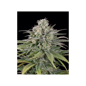 UK Cheese auto de Humboldt Seeds semillas marihuana