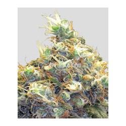 Mango Skunk de Nirvana semillas marihuana