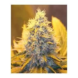 Papaya de Nirvana semillas marihuana