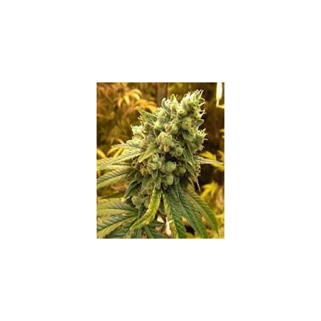 Sativa´s Sour Diesel de Nirvana semillas marihuana