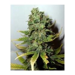 Super Skunk de Nirvana semillas marihuana