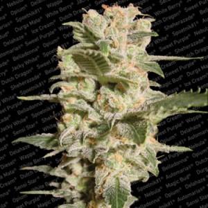 semillas marihuana Belladonna de Paradise Seeds