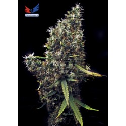 Cum Laude de Positronics semillas marihuana