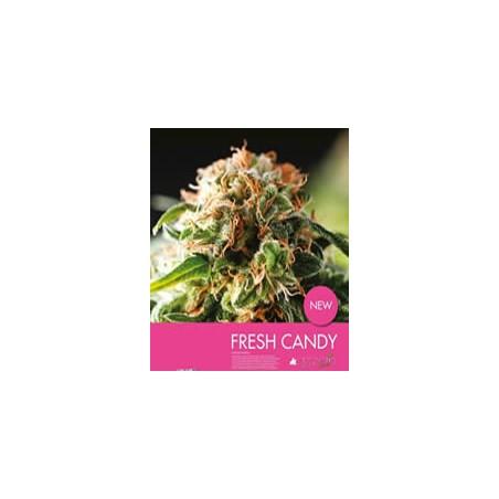 semillas marihuana auto Fresh Candy de Pyramid