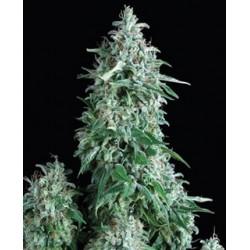 Anubis de Pyramid semillas marihuana