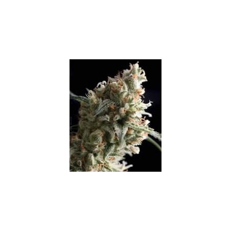 Super Hash de Pyramid semillas marihuana