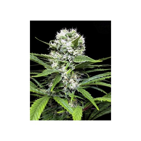 Lemon Ice de Ripper Seeds