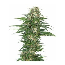 Early Skunk auto de Sensi Seeds semillas marihuana