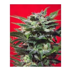 Green Poison F1 de Sweet Seeds semillas marihuana
