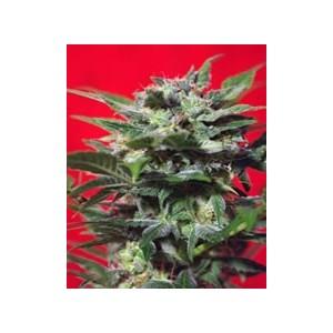 Green Poison F1 de Sweet Seeds semillas marihuana