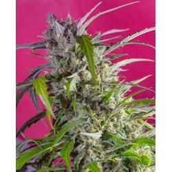 Crystal Candy auto de Sweet Seeds semillas marihuana
