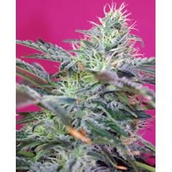 semillas cannabis Sweet Cheese auto de Sweet Seeds