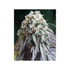 The Dark Side de The Kush Brothers semillas marihuana