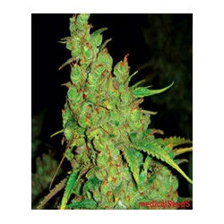 1024 de Medical Seeds semillas marihuana